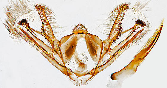 genitalia - Aethalura intertexta - male