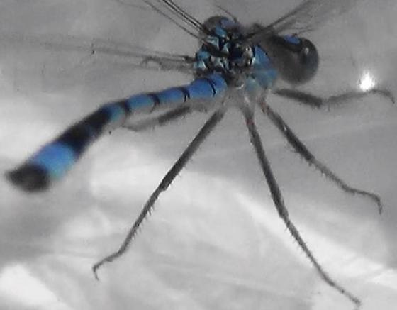 Damselfly Body Scan (flying) - Enallagma civile - male
