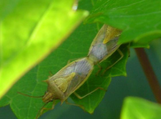 Stink bugs mating. Oebalus pugnax ? - Oebalus pugnax - male - female