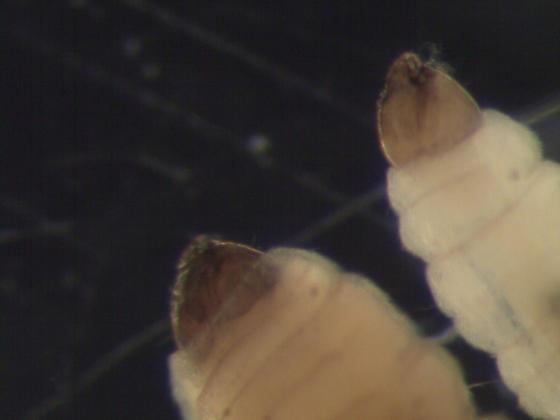 Psychodidae larvae?