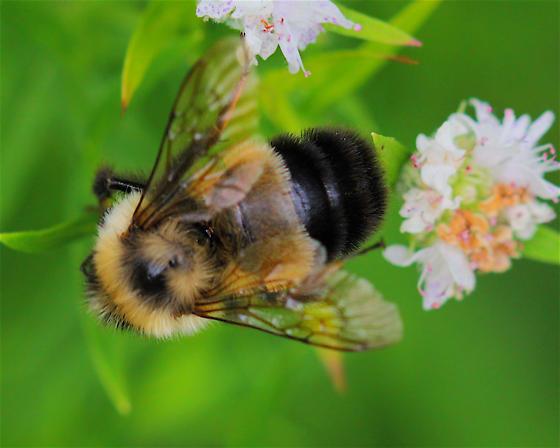 Bumblebee - Bombus affinis