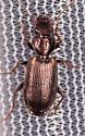 Beetle for ID - Apenes lucidula
