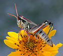 Melanoplus sp - Melanoplus lakinus - female