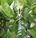 Black and Yellow Garden Spider  - Argiope aurantia