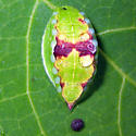 Skiff Moth - Hodges#4671 - Prolimacodes badia
