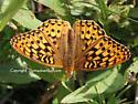 Speyeria Fritillary - Speyeria zerene - male