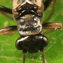 stonefly - Paranemoura perfecta