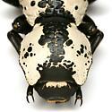 Zopherus nodulosus haldemani Horn - Zopherus nodulosus