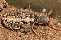 Which Antlion is this?