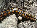 Orange Spotted - Phengodes