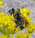 Tri-colored Bumblebee - Bombus ternarius