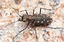 Cicindela sp. - Cicindelidia sedecimpunctata - female