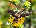 Bombyliidae - help with genus or species? - Poecilanthrax tegminipennis