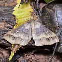 Discolored Renia Moth - Hodges#8381 for May - Renia discoloralis