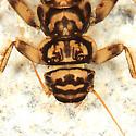 Acroneuria sp. - Acroneuria carolinensis