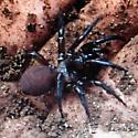 Possible Genus Antrodiaetus? - Antrodiaetus