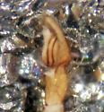 Ground Spider - Cesonia josephus - male