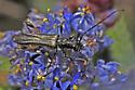 Cerambycid of some kind - Callimoxys fuscipennis
