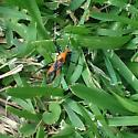 This hitched a ride on my dog... - Zelus longipes
