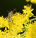Blue Purple Creature (Maybe Mosquito) on Goldenrod - Toxorhynchites rutilus