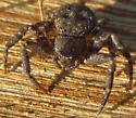 Bassaniana - Bark Crab Spider? - Bassaniana
