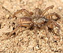 Brown nocturnal spider - Aptostichus