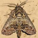 Moth -- P9088934 - Paectes