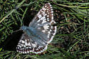 Common Checkered-Skipper ? - Pyrgus communis