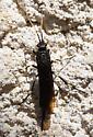Black Beetle - Urocerus albicornis