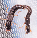 Mating Pair of Rove Beetles - Pinophilus - male - female