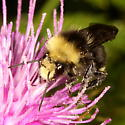 ID help please - Bombus