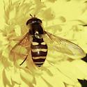 Eupeodes species? - Syrphus opinator - female