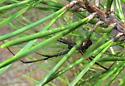 Southern Black Widow, Latrodectus mactans - Latrodectus variolus - male
