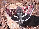 tiny pink butterfly - Eutricopis nexilis