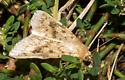 Brown-banded moth