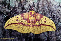 Imperial Moth - Eacles imperialis - female