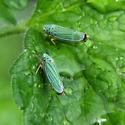 Hordnia atropunctata - Graphocephala atropunctata