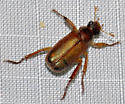 Scarab Beetle - Dichelonyx subvittata? - Dichelonyx subvittata
