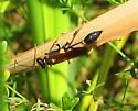 Unknown wasp  - Sceliphron caementarium