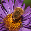 Bee Fly - Sparnopolius confusus - female
