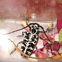 beetle - Plectrodera scalator