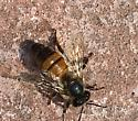 Which Bee is this? - Apis mellifera - female