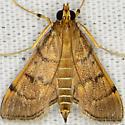 Bean-leaf Webworm Moth - Omiodes indicata
