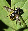 Syrphid - Sericomyia chrysotoxoides - female