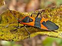 Black and Orange Bug - Oncopeltus fasciatus