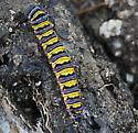 Caterpillar  - Pontia sisymbrii