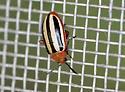 Flea beetle - Disonycha leptolineata