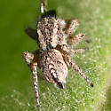 little jumper - Habronattus cognatus