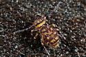 globular springtail - Bothriovulvus