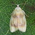 A Tortricid Moth - Acleris semipurpurana